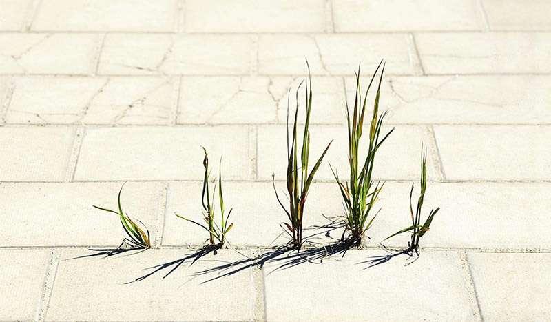 Mauvaises herbes sortant des dalles